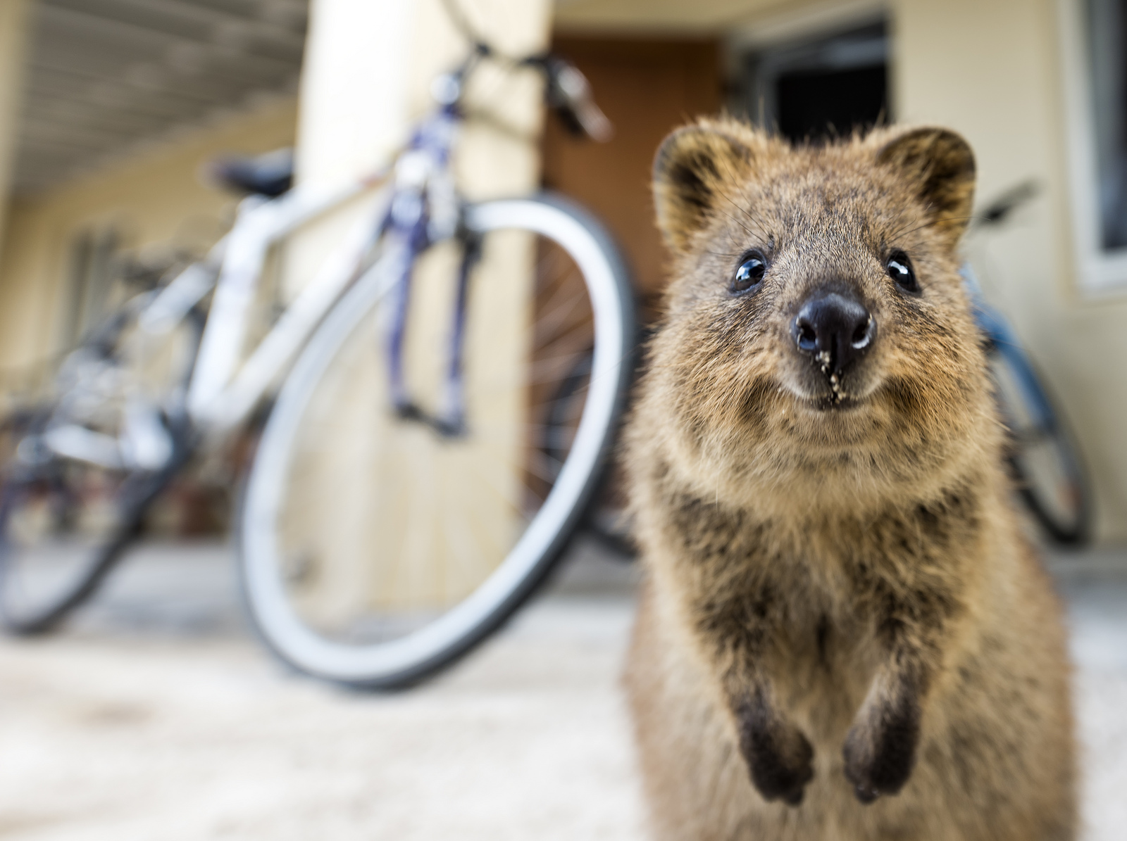 quokka smiling - photo #12